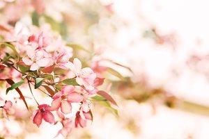 Blooming Sakura, pink cherry flowers