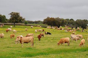 Many cows grazing in the meadow