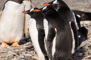 Papua penguin couple at the seaside