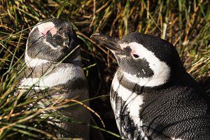 Magellan penguin couple in love