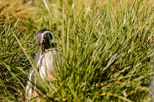 Magellan penguin portrait in the grass
