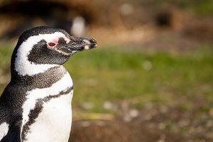 Magellan penguin portrait