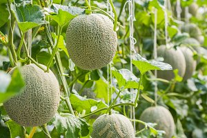 Melon growing in a greenhouse