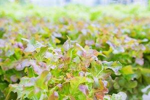 Salad leaf, Lettuce salad plant