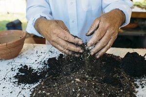 Senior man hands transplanting plant