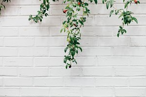 Vines on White Brick 4