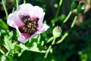 purple wild poppy, opium