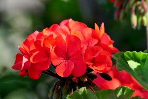 splendid red geranium