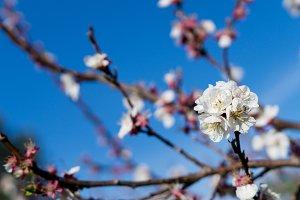 Apricot tree flowers.