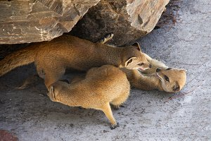 Three meerkat resting and play under a rock