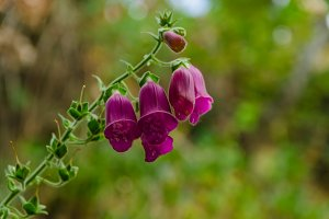 Digitalis purpurea flower