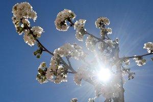 Cherry blossom and sunbeam