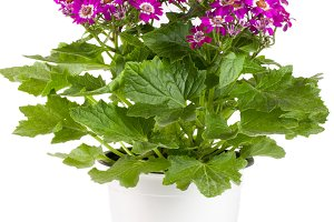 Cineraria flowers in a pot isolated on white background