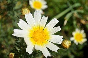 Wild daisy in the garden