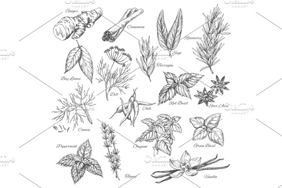 Vector Sketch Spices And Herb Plants Flavorings