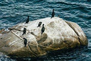 Cormoran birds