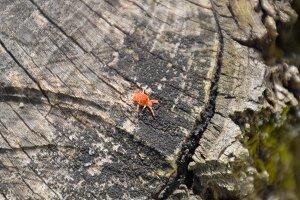 Red velvet tick on the stump. Close up macro Red velvet mite or