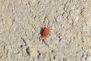 Close up macro Red velvet mite or Trombidiidae