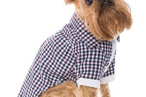 Dog in checkered shirt,