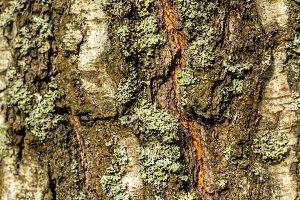 Multicolour bark of old tree