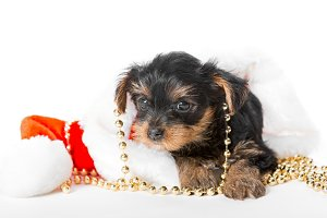 Small dog Yorkshire Terrier
