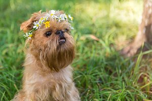 Dog with a wreath of daisies