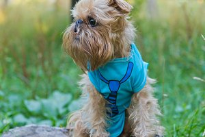 Dog breed Brussels Griffon walks