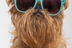 Dog breed Brussels Griffon