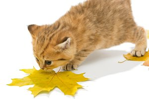 Small kitten the British breed