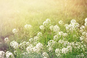 Summer evening background with white flowers alissum, retro tone