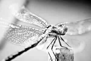 B&W Macro Dragonfly