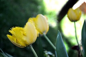 Yellow tulip with drops