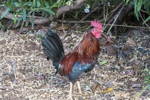 large colorful rooster