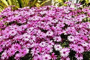 Daisies of the cape,