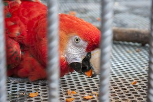 red parrot eating