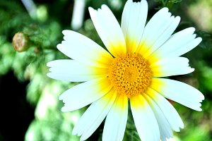 wild daisy in the garden