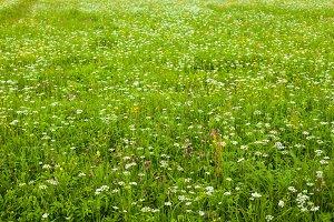 Summer flowers in the field