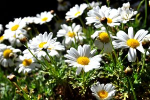White daisies in the garden