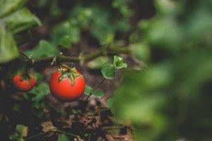 Bright Red Tomato in Garden