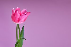 Pink Tulip on Purple Background