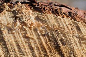 Sap Detail on Tamarack Log