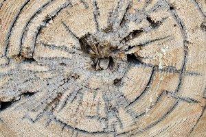 Decayed Tamarack Log