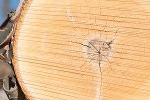 Birch Log Closeup