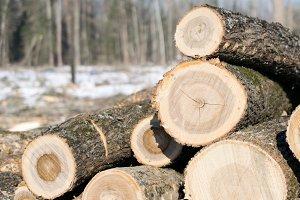Ash Logs in Winter