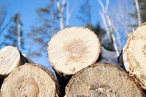 Quaking Aspen Logs in Winter