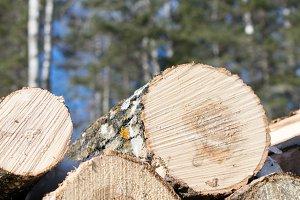 Trembling Aspen Log Pile