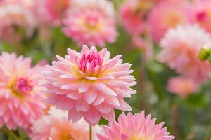 colorful of dahlia pink flower