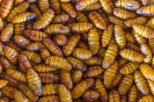 chrysalis silkworm