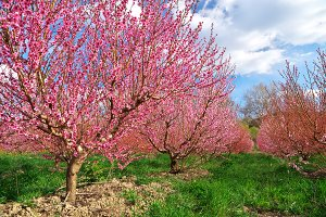 Orchard blooming spring garden.