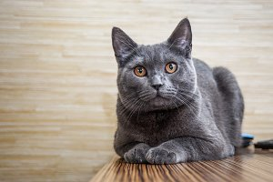 British shorthair cat lying on the table